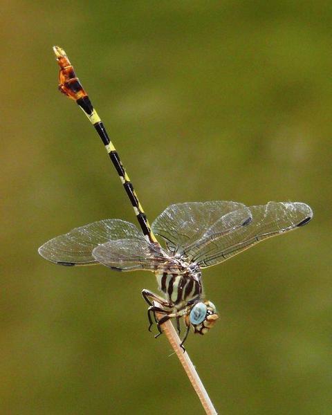 Four-striped Leaftail