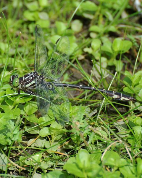 Arrow Clubtail