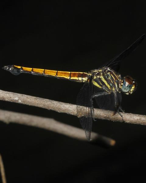 Gray-waisted Skimmer