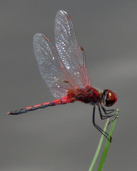 Red-veined Pennant