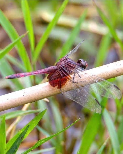 Red-mantled Dragonlet