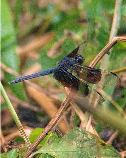 Black-winged Dragonlet