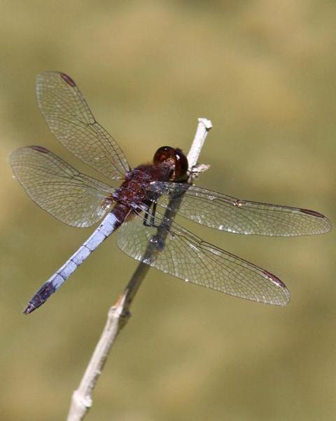 Red-faced Dragonlet