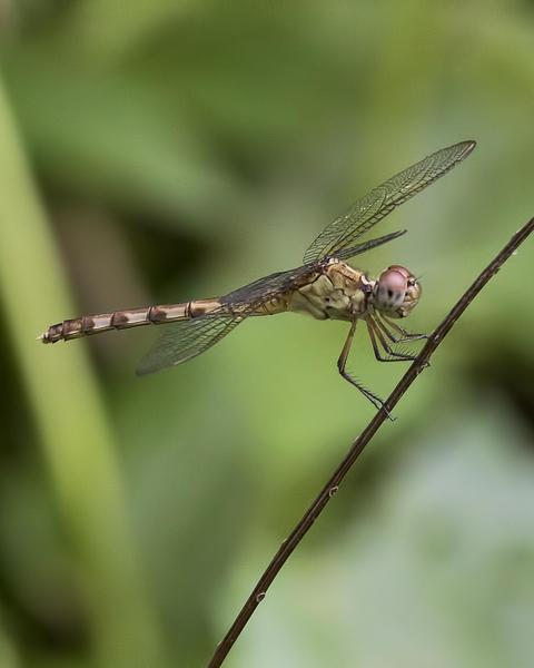 Band-winged Dragonlet