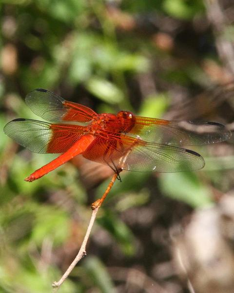 Red-mantled Skimmer