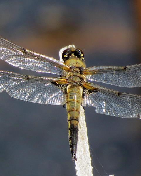 Four-spotted Skimmer