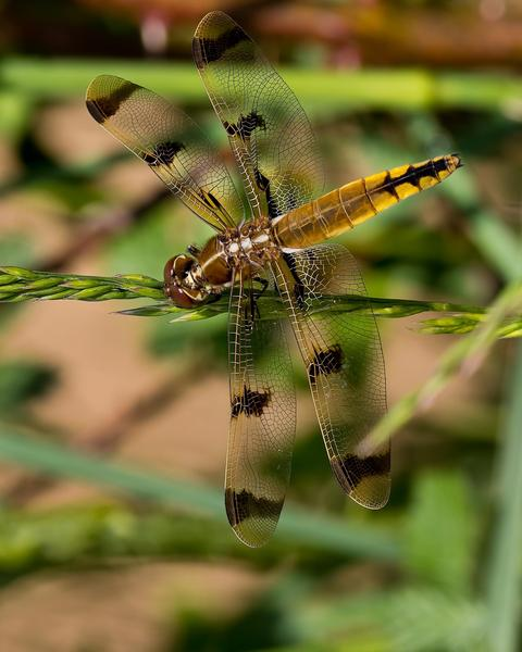 Painted Skimmer