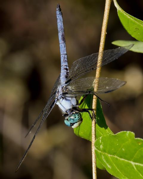 Great Blue Skimmer