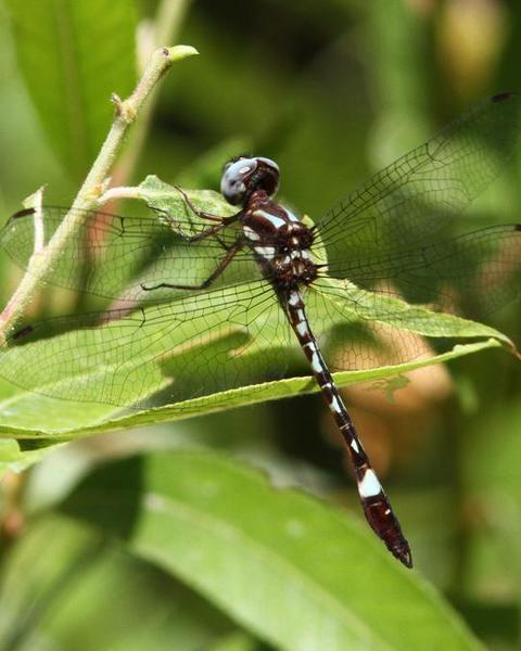 White-tailed Sylph
