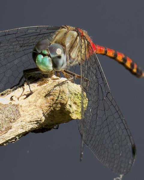 Blue-faced Meadowhawk