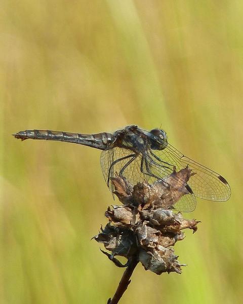 Black Meadowhawk