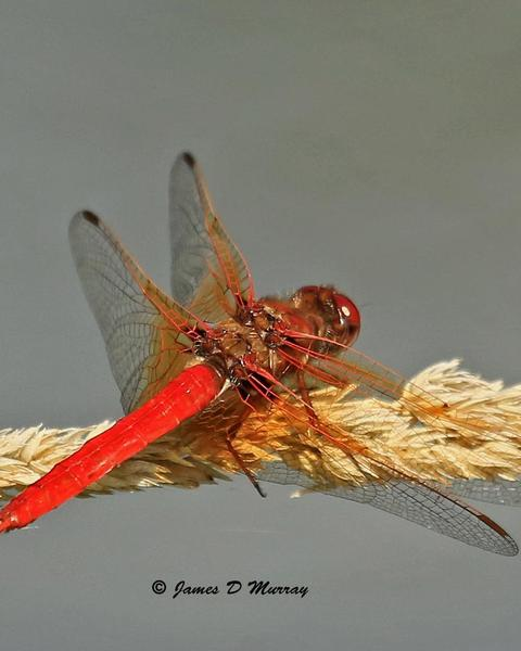 Cardinal Meadowhawk