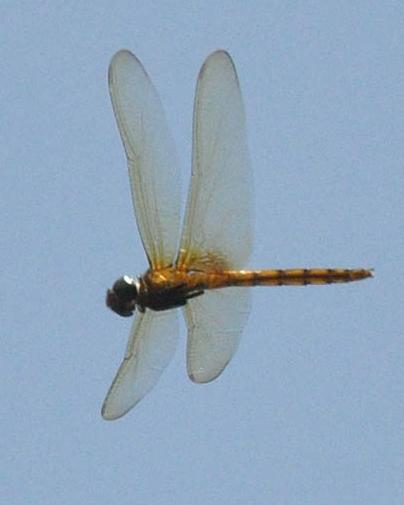 Garnet Glider