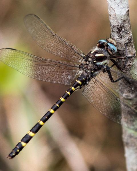 Sarracenia Spiketail