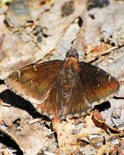 Northern Cloudywing