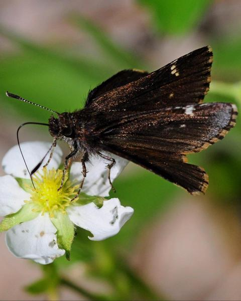 Common Roadside-Skipper
