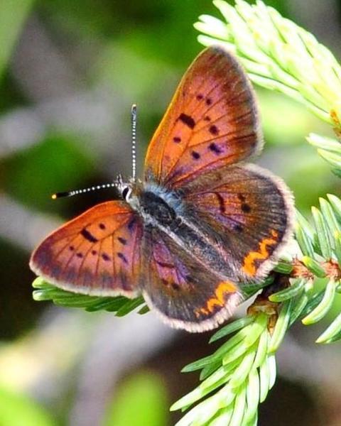 Dorcas Copper