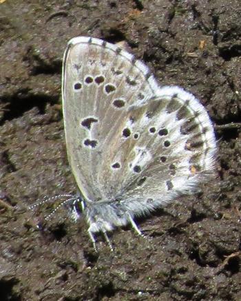 Arrowhead Blue