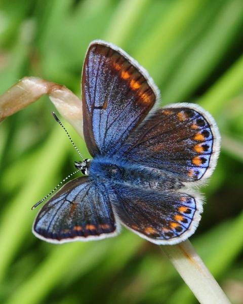 European Common Blue