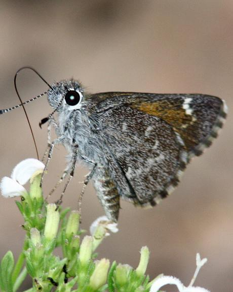 Bronze Roadside-Skipper