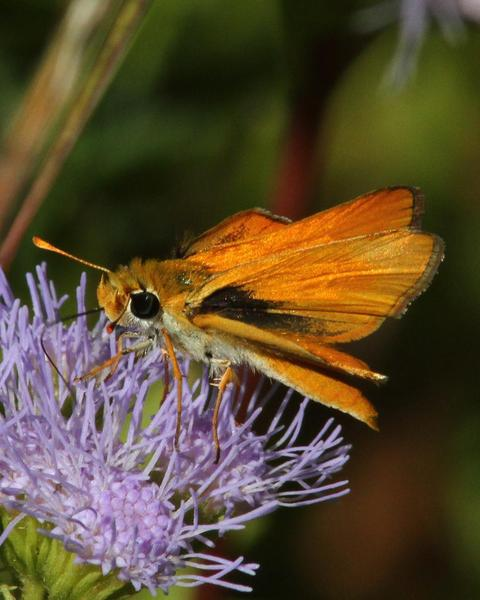 Orange Skipperling