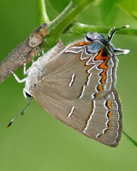 Soapberry Hairstreak