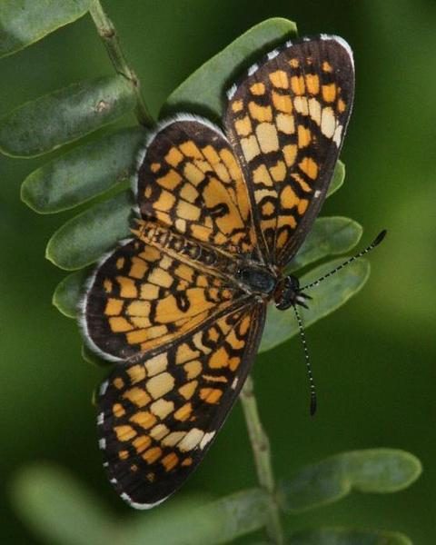 Tiny Checkerspot