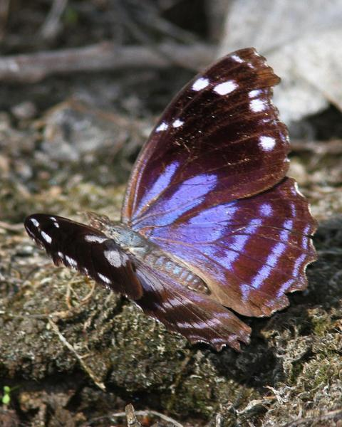 Blackened Bluewing
