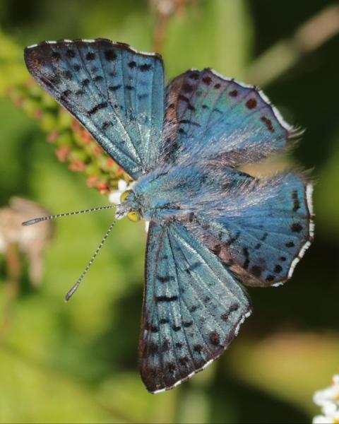 Blue Metalmark