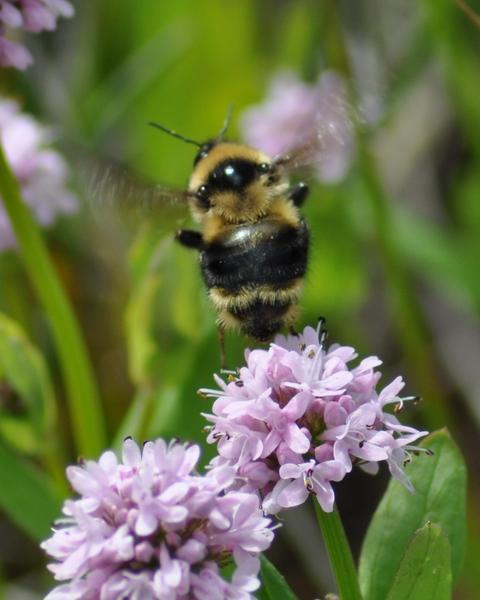 Fernald cuckoo bumble bee