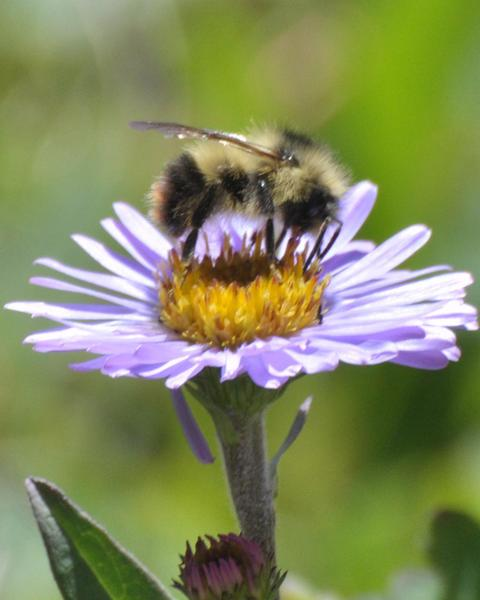 Fuzzy-horned bumble bee
