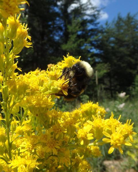 Yellow-banded bumble bee