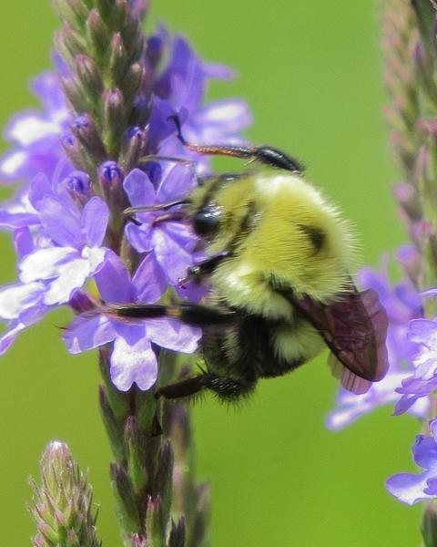 Half-black bumble bee