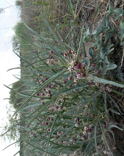 Bract milkweed