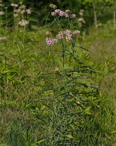 Narrow-leaved milkweed