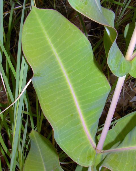 Nodding milkweed