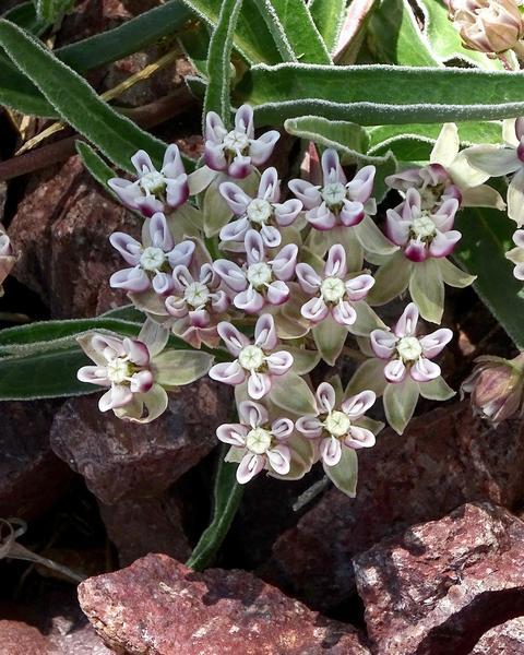 Dwarf milkweed