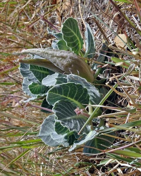 Tufted milkweed