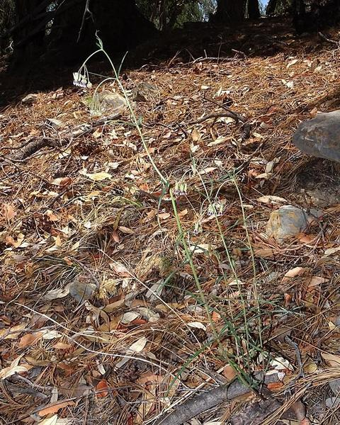 Slimpod milkweed