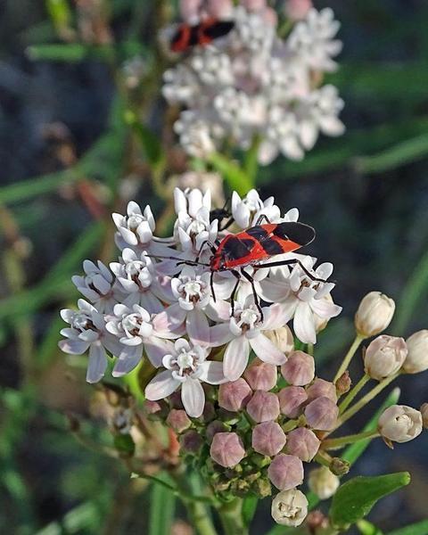 Arizona milkweed