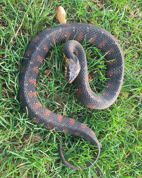 Southern Water Snake
