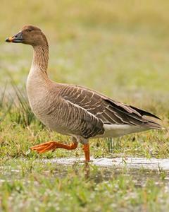 Taiga Bean-Goose