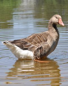 Graylag Goose (Domestic type)