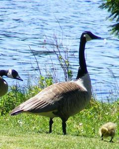Canada Goose (canadensis Group)