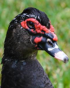 Muscovy Duck (Domestic type)