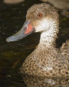 White-cheeked Pintail (Galapagos)