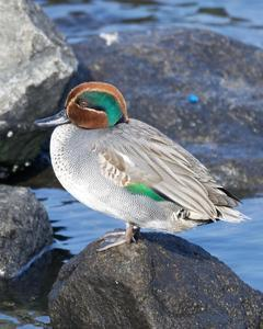 Green-winged Teal (Eurasian)
