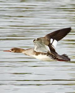 Red-breasted Merganser