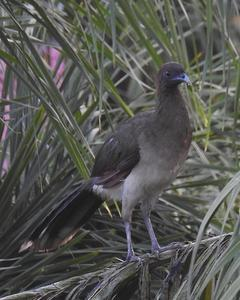 Chestnut-winged Chachalaca