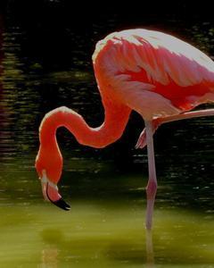 flamingo sp.